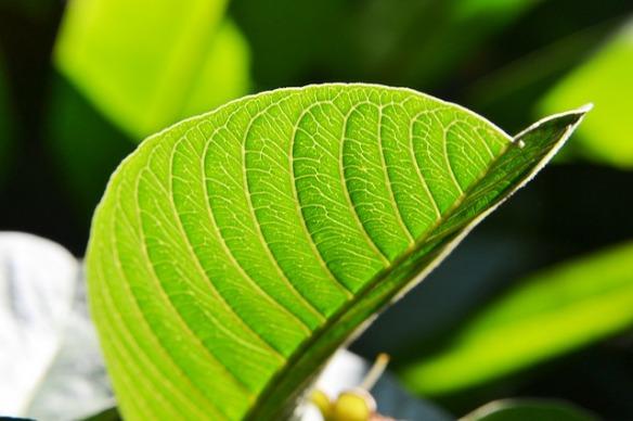 guava-leaf-204980_640